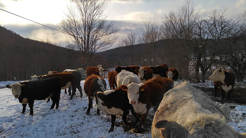 more beef cattle in winter