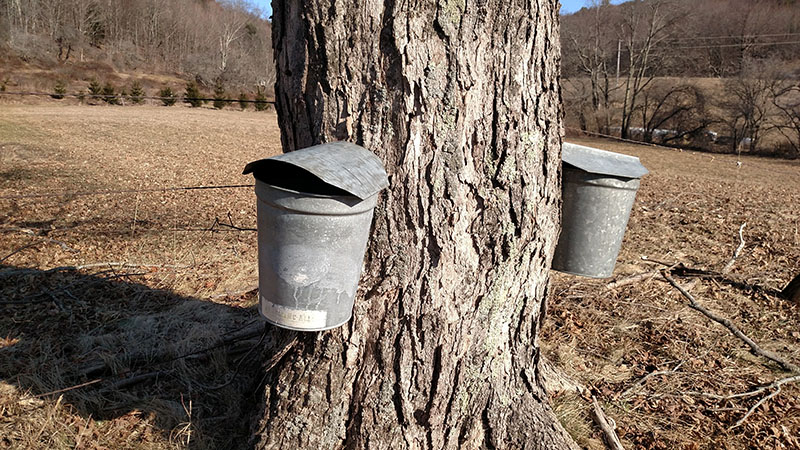 sap buckets hanging from tree